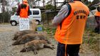 La despoblación en Japón provoca una explosión demográfica... de jabalíes