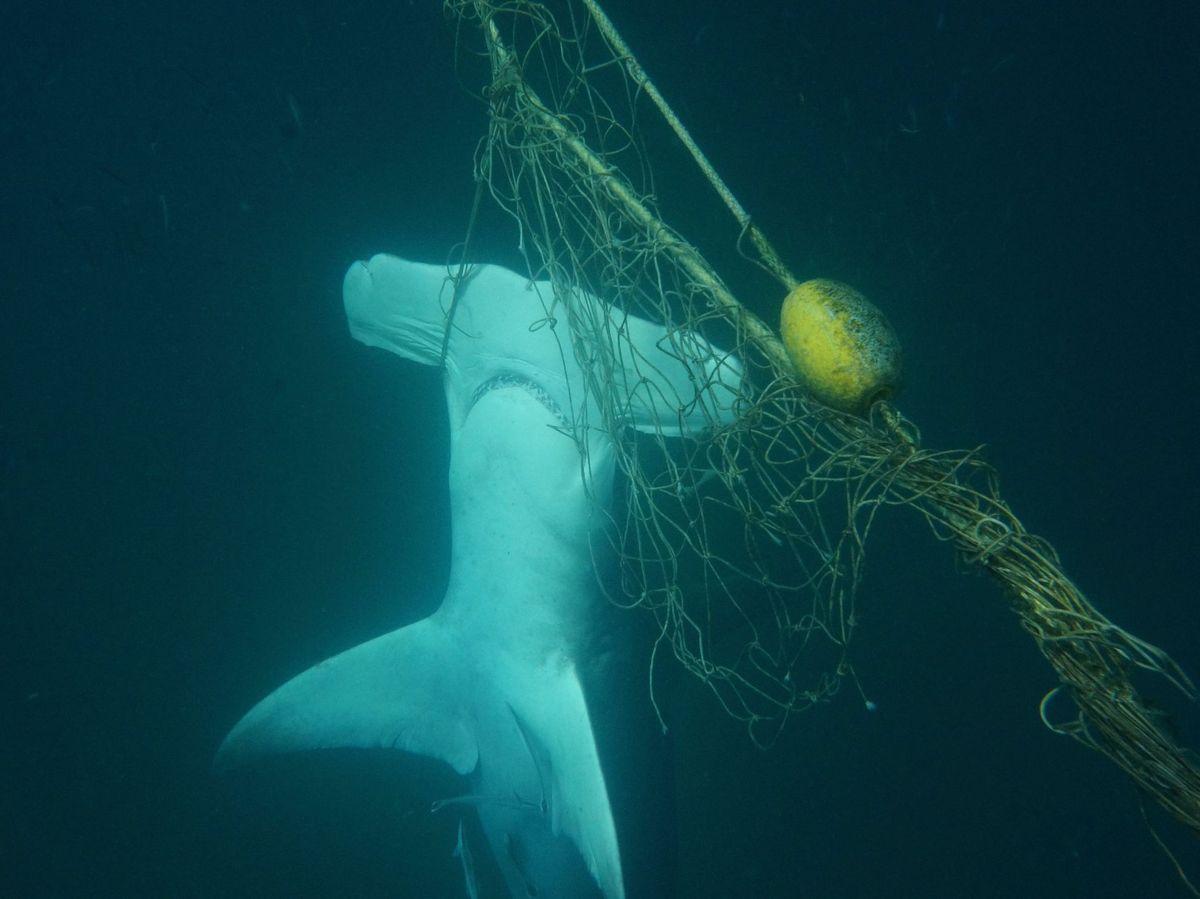 Foto: Tiburón martillo atrapado en redes de pesca. Foto: EFE