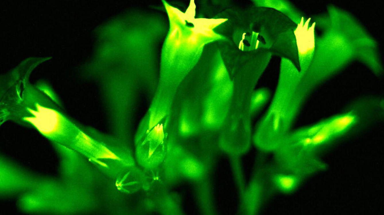 Logran crear plantas que brillan con su propia luz