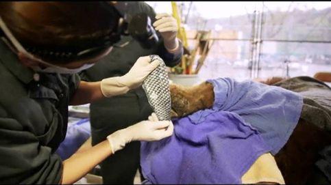 Con piel del pez tilapia tratan las quemaduras de animales salvajes