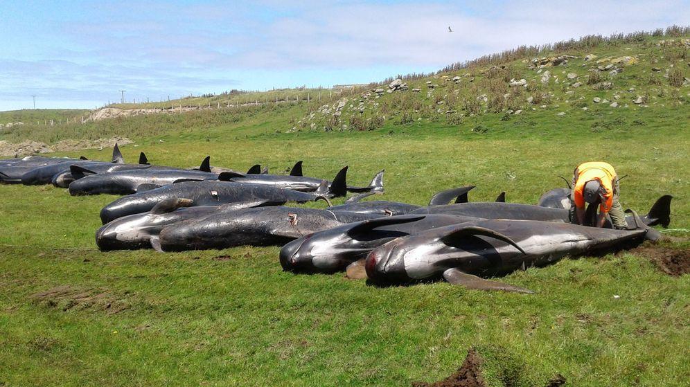 Foto Ms De 200 Ballenas Han Aparecido Varadas En Nueva Zelanda Slo La Ltima