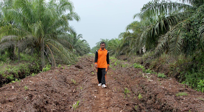 Foto: Pak Dahlan camina entre las plantaciones de aceite de palma (Foto: Laura Villadiego)