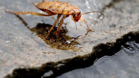 Tenemos un problema: las cucarachas se hacen resistentes a los insecticidas