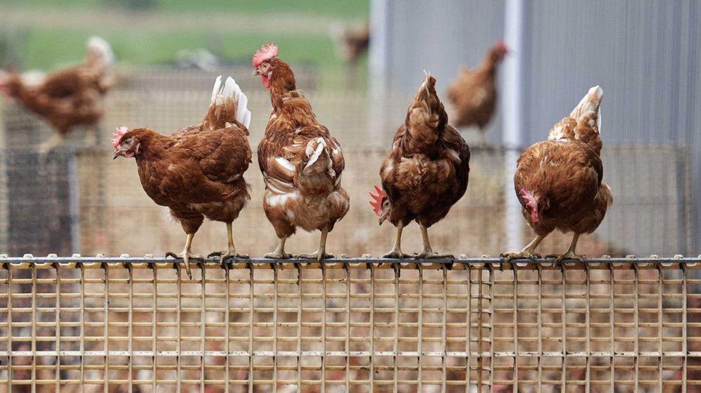 Foto: Pollos en una granja. (EFE)