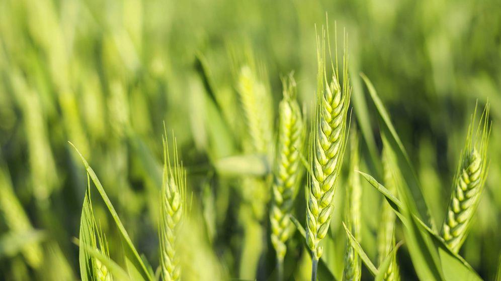 cereales el trigo está muy mal visto con motivo noticias de consumo
