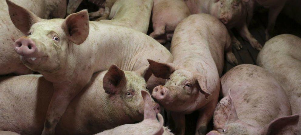Foto: Cerdos en una granja (Reuters)