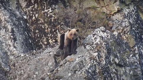 Graban por primera vez cómo un oso mata a una osa que protegía a su cría en Asturias