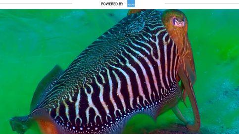 Estos moluscos se reproducen una sola vez en la vida y después mueren