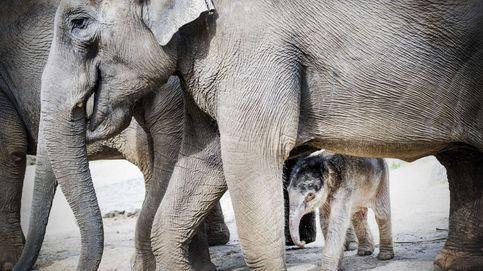 Un nuevo elefante para Holanda