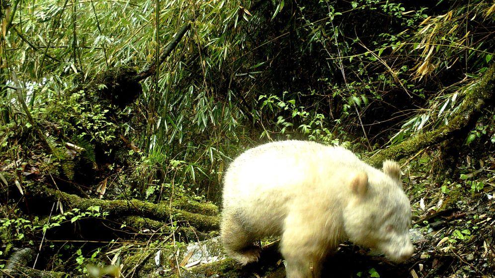 Foto: El primer ejemplar de oso panda albino ha sido fotografiado en la Reserva Natural de Wolong, en China