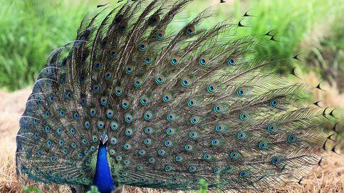 Ritual de apareamiento del pavo real en Sri Lanka