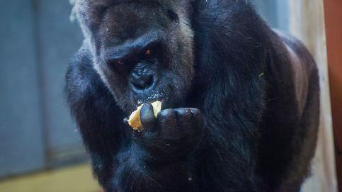 Un gorila de 200 kilos hiere de gravedad a una cuidadora del Zoo de Madrid
