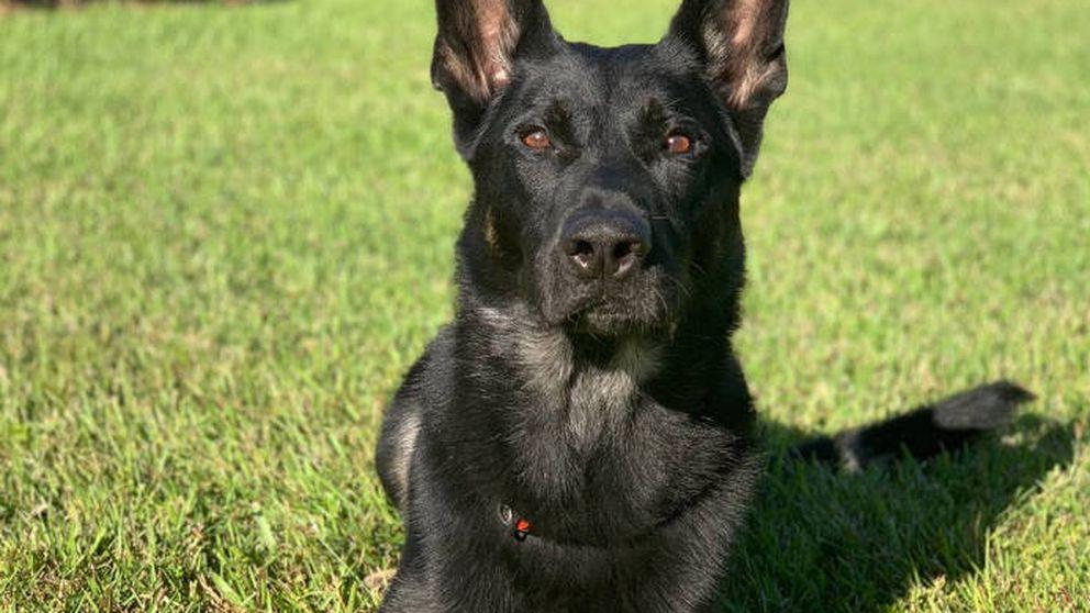 Perro policía muere en acto de servicio después de salvar la vida a su compañero