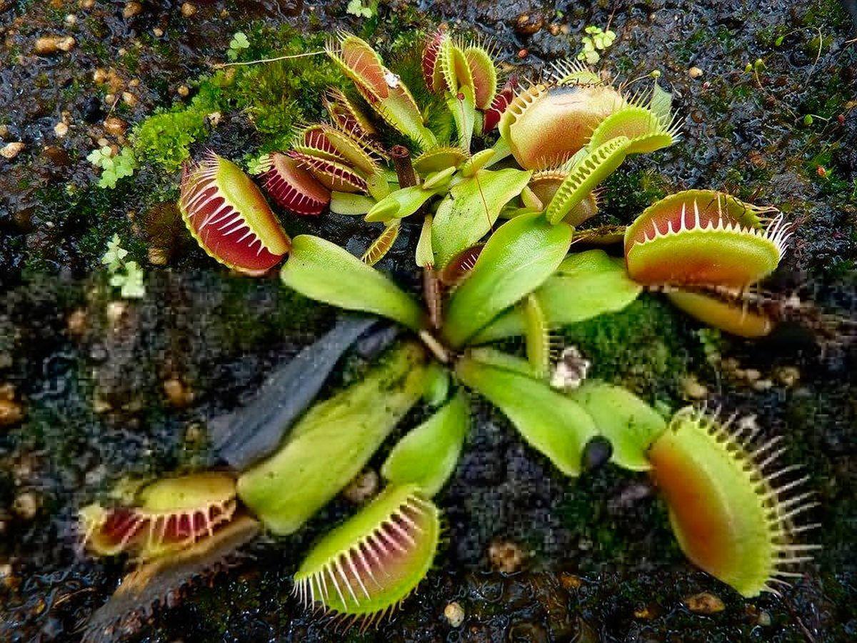 Foto: Las plantas carnívoras atraen a sus presas con sus llamativos colores (Pixabay)