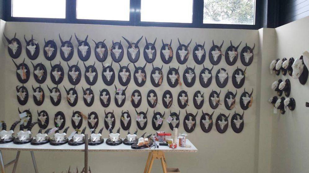 Foto: Algunos de los trofeos de los ejemplares abatidos que se conservan en el Centro de Recuperación de Animales Silvestres (CRAS) de la Comunidad de Madrid. (EFE)