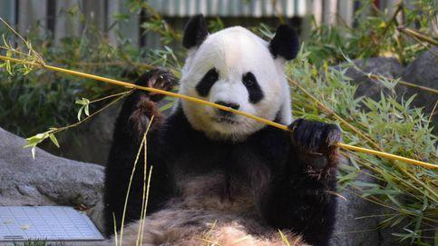 A los pandas no les gusta el sexo: la solución de los zoos para salvar la especie