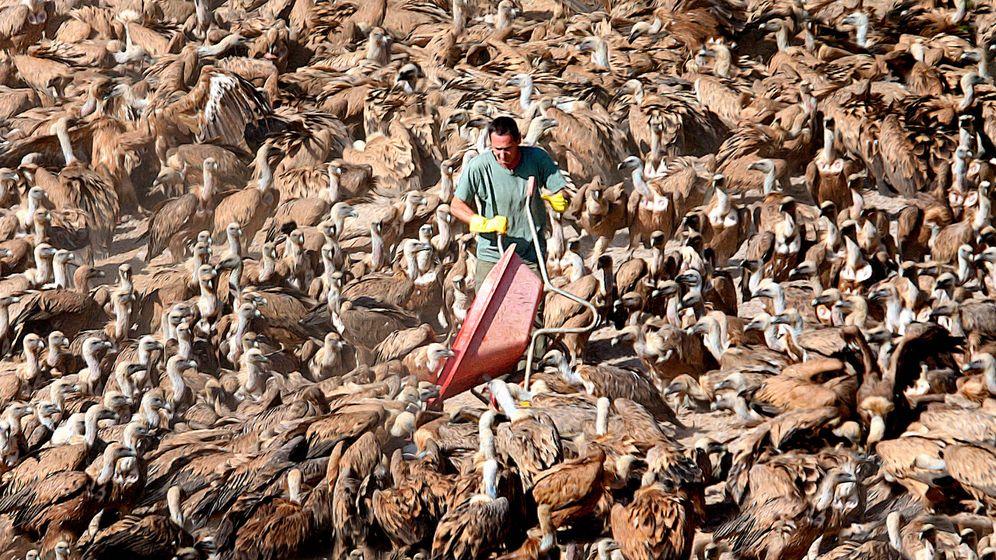Foto: Buitreman descarga carroña rodeado por los cientos de buitres a los que alimenta cada día.