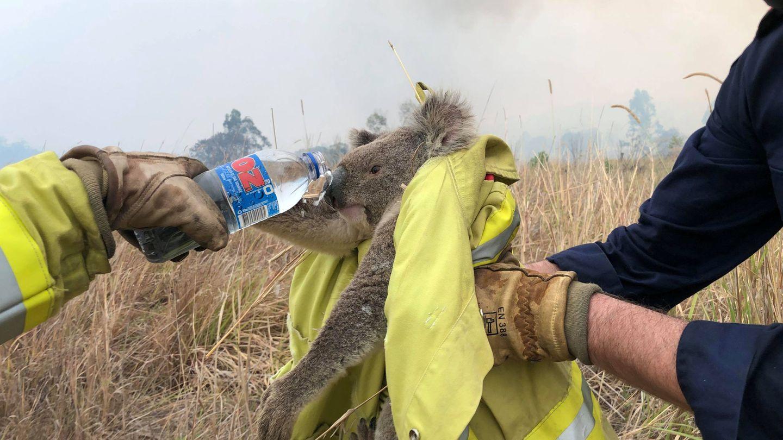 Rescate de un koala durante los incendios, el pasado 21 de noviembre. (Reuters)