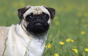 ¿Mascotas o moda? Aumentan las operaciones estéticas en los perros