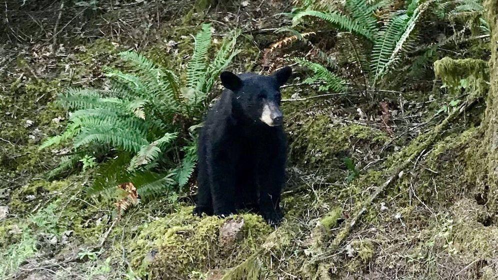 Foto: El oso tuvo que ser abatido porque representaba un peligro para la seguridad (Foto: Sheriff Condado de Washington)