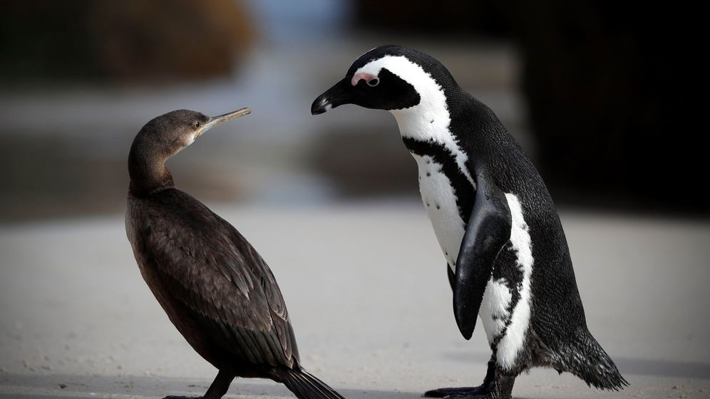 Foto: Los pingüinos volvieron al mismo lugar en el que habían anidado (EFE/Nic Bothma)