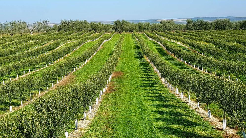 Foto: Imagen de un olivar de secano en España. (Agromillora)