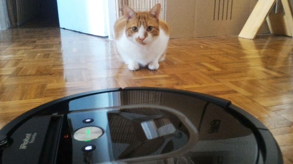 Foto: El gato Poly se enfrenta a la Roomba (RP)