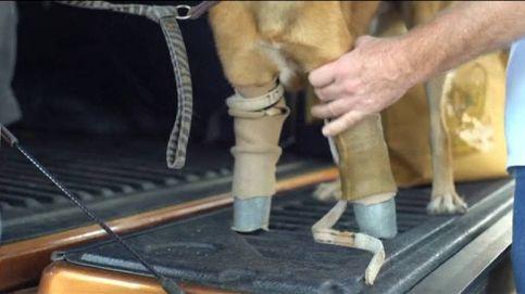 Cola, el primer perro en usar prótesis similares a las de los atletas paralímpicos