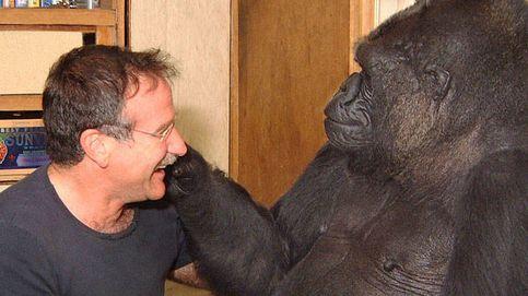 Muere Koko, la gorila que sabía lenguaje de signos y que lloró por Robin Williams