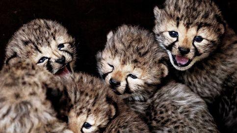Crías de guepardo nacidas en Holanda