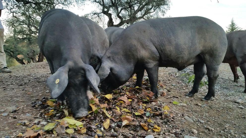 El jamón de un cerdo de padre extranjero también es considerado ibérico por la Fiscalía