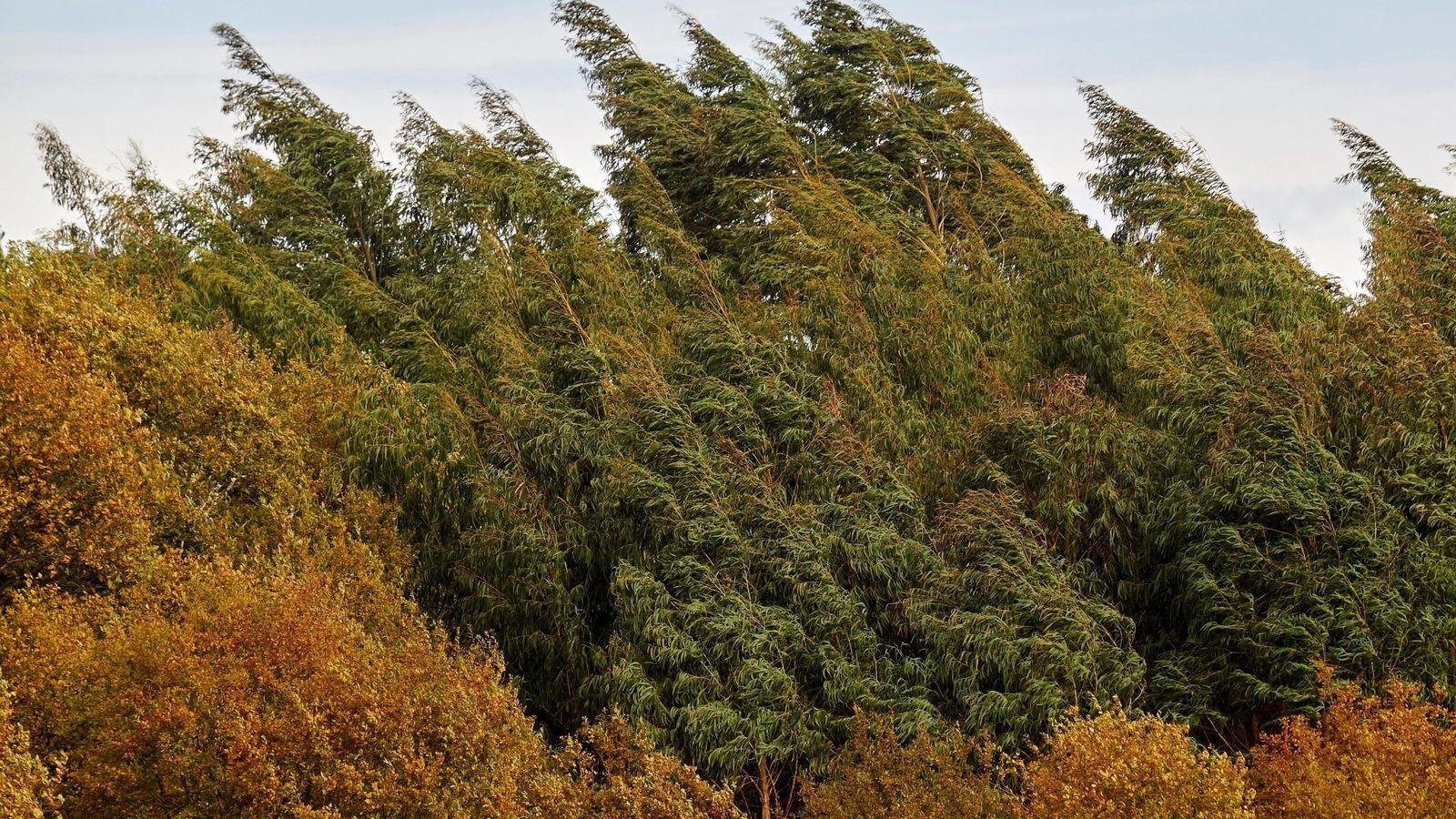 Foto: Eucaliptos movidos por el viento en Lugo. (EFE)