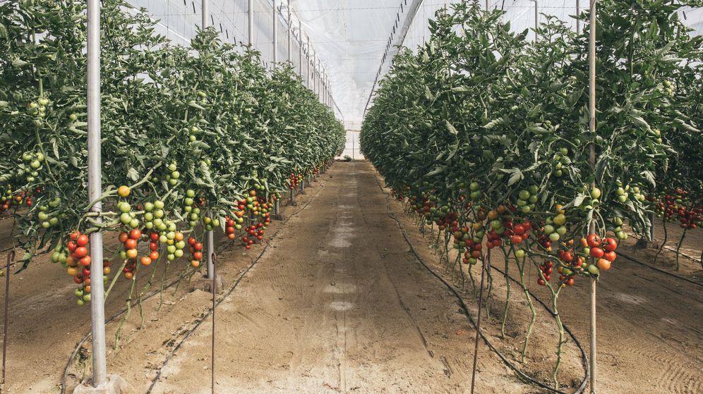 Foto: Una de las hileras de tomatera en un invernadero de Almería. (D.B.)
