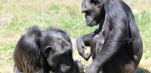 Post de Zoológico prohíbe la entrada a una mujer por tener un 'romance' con un chimpancé