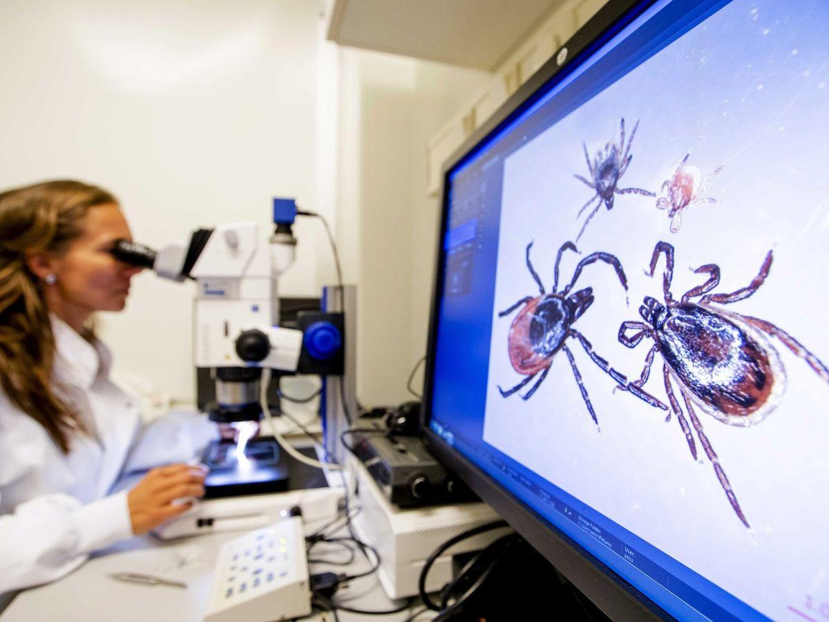 Foto: Estudian virus transmitido por garrapatas. (EFE)