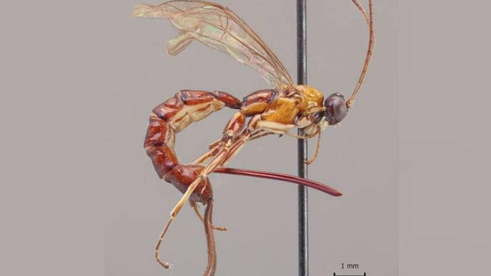 Foto: Así es la Clistopyga Crassicaudata, la 'avispa escorpión'. (Universidad de Turku)