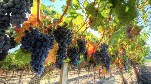 La idea española para evitar que el cambio climático acabe para siempre con el vino