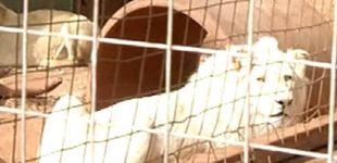 Post de Subastar a un león blanco para cazarlo: la idea para recaudar fondos en Sudáfrica